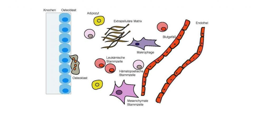 The bone marrow matrix is a complex system consisting of different cells and other components. Within this complex system, periostin plays an important role in intercellular communication
